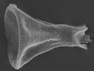<i><i>Sphaerochitina concava</i></i><br />Ohesaare borehole, 143.15 m, Rootsiküla Stage ( 754-374)