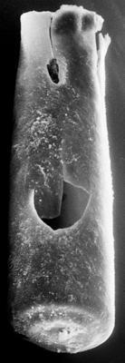 <i><i>Chitinozoa</i> | Conochitina aff. tuba Eisenack, 1932</i><br />Ikla borehole, 323.40 m, Raikküla Stage ( 272-132)