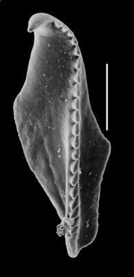 <i>Oenonites sp. A Hints, 2000</i><br />Orjaku borehole, 98.60 m, Nabala Stage