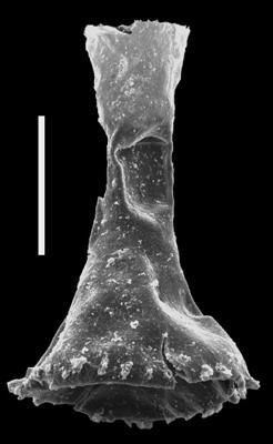 <i><i>Ancyrochitina ansarviensis</i></i><br />Dubovskoye borehole, 1163.00 m, Přidoli ( 607-25)