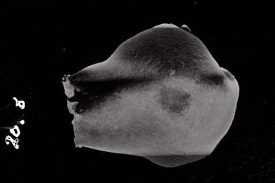 <i><i>Conochitina lagena</i>   Conochitina aff. lagena</i><br />Ventspils D-3 borehole, 706.00 m, Jaagarahu Stage ( 754-788)