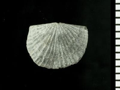 Skenidioides hymiri Baarli, 1995, GIT 128-42