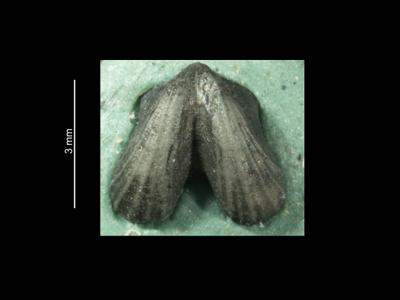 Dicoelosia biloba (Linnaeus, 1758), GIT 37-12