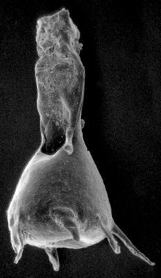 <i><i>Plectochitina magna</i></i><br />Varbla 502 borehole, 135.10 m, Jaani Stage ( 272-46)