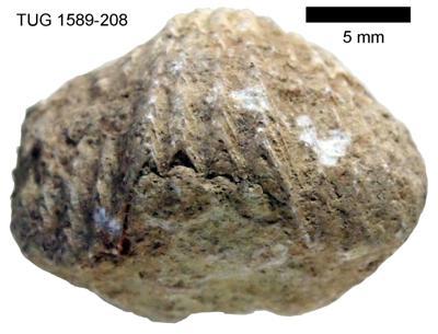 Platystrophia lynx lynx (Eichwald, 1830), TUG 1589-208