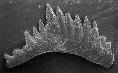 Ozarkodina excavata puskuensis Männik, 1994, GIT 254-5