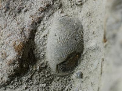 Protobranchia