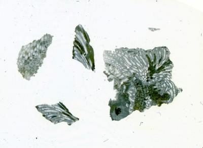 Solenopora spongoides Dybowski, TUG 1140-8