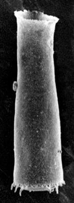<i><i>Spinachitina maennili</i> | Coronochitina maennili Nestor, 1980</i><br />Ruhnu 500 borehole, 573.30 m, Raikküla Stage ( 213-4)
