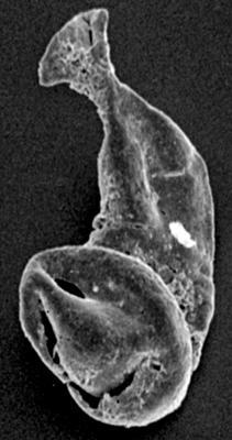 <i><i>Margachitina margaritana</i></i><br />Ruhnu 500 borehole, 407.30 m, Jaagarahu Stage ( 197-1)
