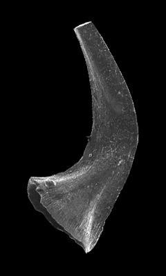 Walliserodus sp. n. Munnecke et Männik, 2009, GIT 583-27