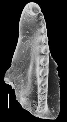 <i>Kalloprion sp. A Hints, 2000</i><br />Laeva 18 borehole, 225.15 m, Nabala Stage