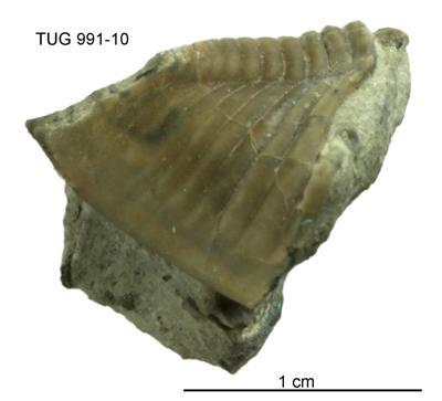 Toxochasmops (Toxochasmops) estonicus Rõõmusoks, TUG 991-10