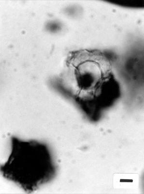 Pterospermopsis sp., GIT 344-288