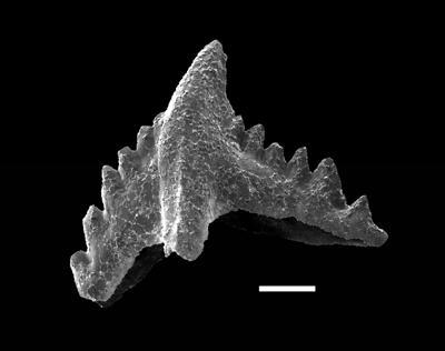 Pranognathus tenuis (Aldridge, 1972), GIT 738-7