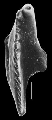 Ramphoprionidae