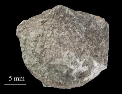Estlandia marginata (Pahlen, 1877), ELM G1:5049