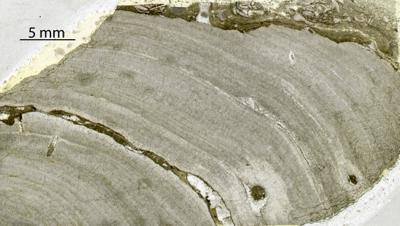 Densastroma pexisum (Yavorsky, 1929), GIT 333-254