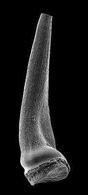 Semiacontiodus carinatus Dzik, 1976, GIT 449-63