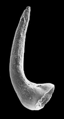 Semiacontiodus cornuformis (Sergeeva, 1963), GIT 342-46