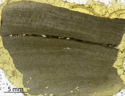 Densastroma pexisum (Yavorsky, 1929), GIT 333-76
