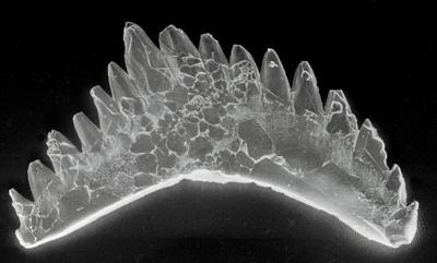 Ozarkodina excavata puskuensis Männik, 1994, GIT 254-7