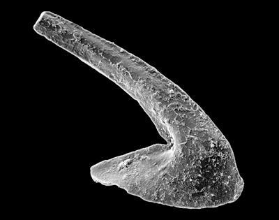 Phragmodus polonicus Dzik, 1978, GIT 449-40