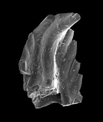 Astropentagnathus irregularis Mostler, 1967, GIT 301-22