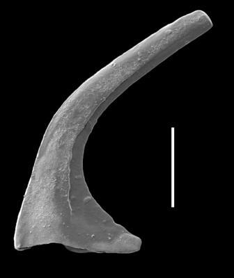 Oslodus semisymmetricus (Hamar, 1966), GIT 654-31