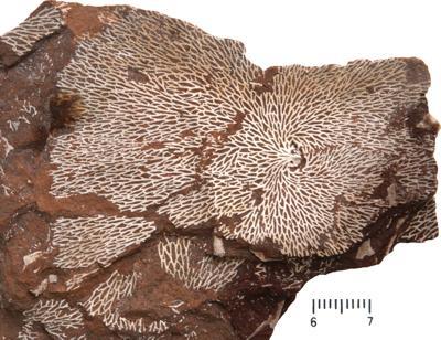 Chasmatopora furcata (Eichwald, 1854), TUG 1589-140