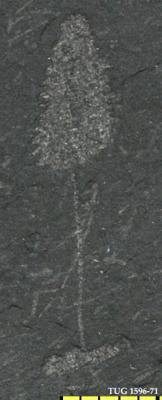 Rastrites phleoides (Tornquist, 1907), TUG 1596-71