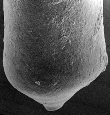 <i><i>Conochitina</i> | Conochitina aff. proboscifera Eisenack, 1937</i><br />Ohesaare borehole, 227.50 m, Jaagarahu Stage ( 272-127)
