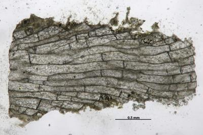Eridotrypa aedilis (Eichwald, 1855) , GIT 537-318