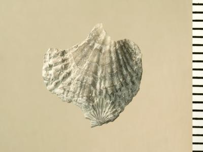 Eospirigerina porkuniana Rubel, 1970, GIT 130-102