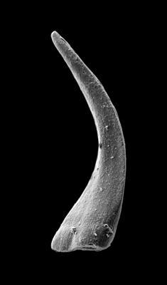 Panderodus sulcatus (Fåhraeus, 1966), GIT 449-54