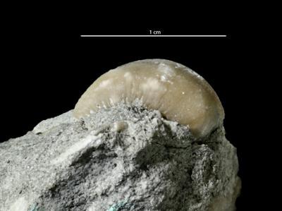 Brachytomaria baltica (Verneuil, 1845), GIT 222-113