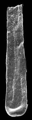 <i><i>Conochitina leptosoma</i></i><br />Kolka 54 borehole, 601.00 m, Adavere Stage ( 546-28)