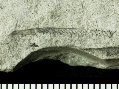 Graptoloidea