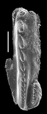 <i>Pistoprion sp. C Hints, 2000</i><br />Kiviõli W-8 borehole,  m, Kukruse Stage