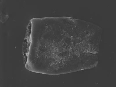 <i><i>Eisenackitina causiata</i></i><br />Kolka 54 borehole, 601.00 m, Adavere Stage ( 754-416)