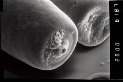 <i><i>Conochitina claviformis</i></i><br />Ohesaare borehole, 68.30 m, Kuressaare Stage ( 754-960)