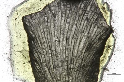 Eridotrypa aedilis (Eichwald, 1860), GIT 537-1084