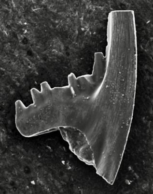 Pterospathodus amorphognathoides angulatus (Walliser, 1964), GIT 511-21