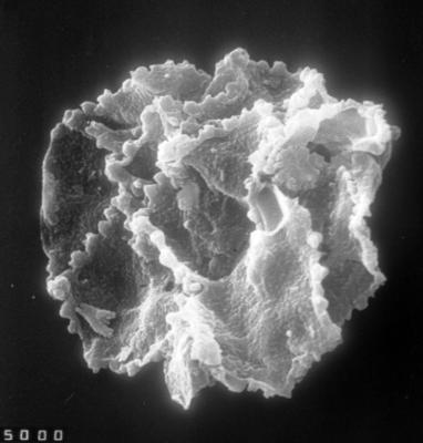 Cristallinium randomense (Martin, 1981) Martin, 1988, TUG 1528-42