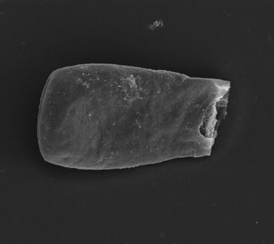<i><i>Bursachitina nestorae</i></i><br />Ventspils D-3 borehole, 827.60 m, Adavere Stage ( 754-1353)
