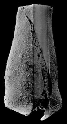 <i><i>Chitinozoa</i> | Eisenackitina aff. elongata Eisenack, 1972</i><br />Kolka 54 borehole, 253.60 m, Kaugatuma Stage ( 189-37)