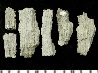 Syringopora blanda Klaamann, 1962, GIT 90-61