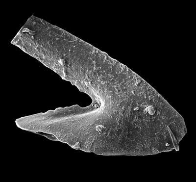 Oslodus semisymmetricus (Hamar, 1966), GIT 449-61