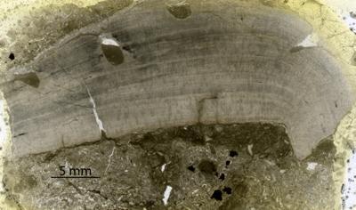 Densastroma pexisum (Yavorsky, 1929), GIT 333-152
