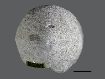 Stigmatella massalis Bassler, 1911, GIT 105-12
